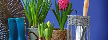 how to plant hyacinth bulbs in pots
