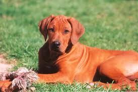 Do Rhodesian Ridgebacks Drool by Best Low Maintenance Dogs Best Dogs For Yor Family