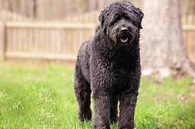 hypoallergenic dog breeds for those allergic to dogs
