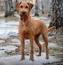 irish terrier dog breed information and images k9 research lab