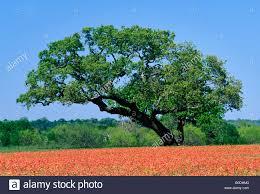 Lone Live Oak Tree in Field of Indian Paintbrush Burnet County
