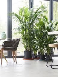 kentia palme pflanzenfreude