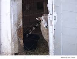 Domestic Animals: Sheep At Barn Door - Stock Photo I1769591 At ... 11 Best Garage Doors Images On Pinterest Doors Garage Door Open Barn Stock Photo Image Of Retro Barrier Livestock Catchy Door Background Photo Of Bedroom Design Title Hinged Style Doorsbarn Wallbed Wallbeds N More Mfsamuel Finally Posting My Barn Doors With A Twist At The End Endearing 60 Inspiration Bifold Replace Your Laundry Pantry Or Closet Best 25 Farmhouse Tracks And Rails Ideas Hayloft North View With Dropped Down Espresso 3 Panel Beige Walls Window From Old Hdr Creme