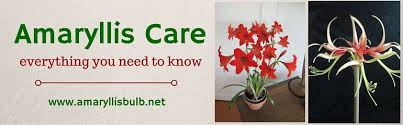 care of amaryllis bulbs discount amaryllis bulbs
