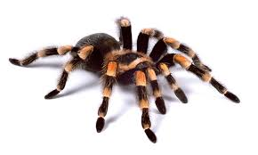 Do Tarantulas Shed Their Fangs by Tarantulas The Largest Spider In The World Newsread In