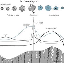 Thick Uterine Lining Shedding During Period by What Is Proliferative Phase Endometrium And Secretory Endometrium