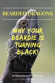 Bearded Dragon Heat Lamp Times by Why Do Bearded Dragons Turn Black Here Is The Real Reason