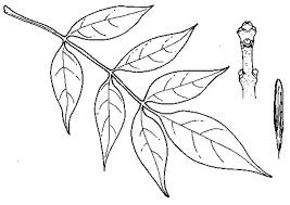 Striped Maple Sugar White Ash