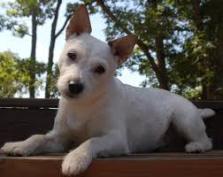 Small Non Shedding Dogs by Guide To Small Dog Adoption Are You Ready To Adopt