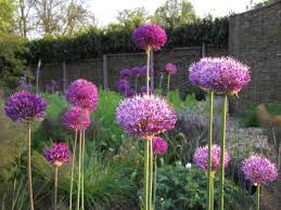 a shout out for alliums