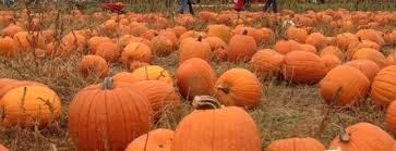Swan Farms Snohomish Pumpkin Patch by Washington State Pumpkin Patches And Corn Mazes