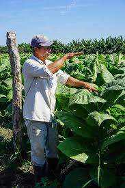 Cuban Tobacco Grower In The Field Stock Editorial Photo