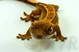 Crested Gecko Shedding Signs by Available Moonvalleyreptiles Com Page 5