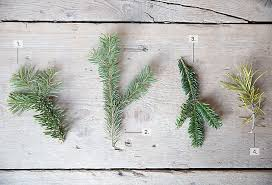 Silvertip Fir Christmas Tree by Evergreen Specimen Guide The Blog At Terrain