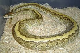 an in depth ball python care sheet hubpages