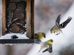 Bird Feeding Takes Wing In U.S., With Summer Meals, Designer Seed National Geographic Backyard Guide To The Birds Of North America Field Manakins Photo Gallery Pictures More From Insects And Spiders Twoinone Bird Feeder Store Birds Society Michigan Mel Baughman Blue Jay Picture Desktop Wallpaper Free Wallpapers Pocket The Backyard Naturalist 2017 Cave Wall Calendar