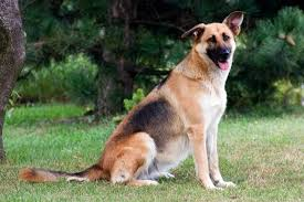 Short Haired Dogs That Shed The Most by Long Haired Vs Short Haired German Shepherd What U0027s The