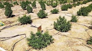 Pumpkin Patch Fresno Ca First News by Sheriff U0027s Deputies Bust A 10 To 20 Acre Marijuana Grow In Fresno