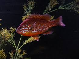 Pumpkin Seed Sunfish Pictures by Cichlids Com Pumpkinseed Sunfish