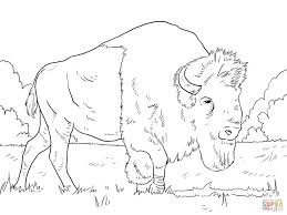 Bison Grazing On Grasses Coloring Page