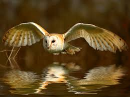 Barn Owl Reflection | Bird Barn Owl Eating Mouse Sussex Uk Tyto Alba Stock Photo Royalty Bird Of The Month Owl Barn A Free Image 51931121 How To Attract Owls Your Yard 1134 Best Birdsstrigiformesowls Images On Pinterest Wikipedia Facts Pictures Diet Breeding Habitat Behaviour Eating Picture And 1861 Owls Snowy Saw Whets Chick Raptor Conservancy Virginia Baby And Animal