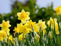 the best daffodil varieties that bloom all saga