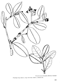 Drawing Of Ternstroemia Subsessilis Fruiting Twig And A With Buds