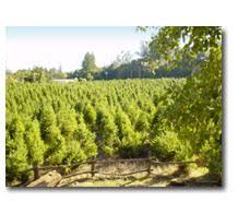 Santa Cruz Christmas Tree Farms by Black Road Christmas Tree Farms