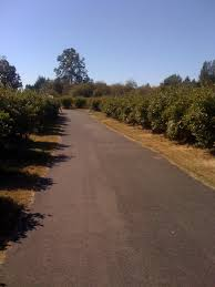 Pumpkin Patch Near Tacoma Washington by Free Blueberry Picking In Tacoma At Charlottes Blueberry Park