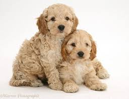 92 best dogs images on pinterest cockapoo puppies poodle mix