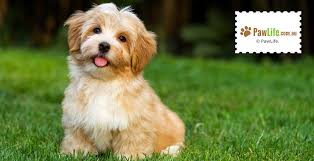 Dog Breeds That Dont Shed by Dog Breeds That Don U0027t Shed Paw Life