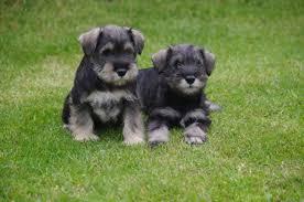 Do Giant Schnauzer Dogs Shed Hair by Miniature Schnauzer My Doggy Rocks
