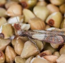 lebensmittelmotten bekämpfen so entfernen sie motten