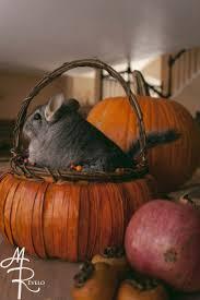 Dwight Pumpkin Head Gif by 109 Best Chinchillin U0027 Images On Pinterest Chinchillas Hamsters