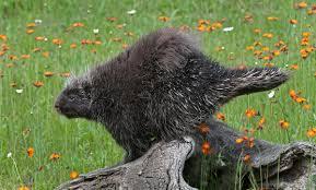 Porcupine Eats Pumpkin by Porcupine Squeals Lang Elliott