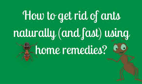 How to rid of ants naturally and fast using home reme s