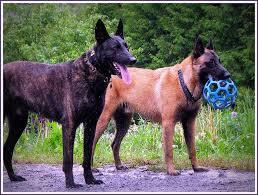 177 best belgian shepherd malinois images on pinterest belgian