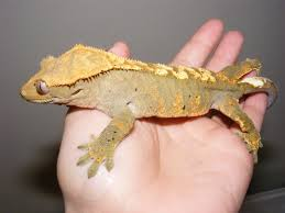 Baby Halloween Crested Gecko by Eyelash Crested Gecko For Sale Asatan Info