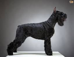 Do Giant Schnauzer Dogs Shed Hair by Choosing Between The Great Dane And The Giant Schnauzer Pets4homes