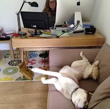 ennui au bureau 12 chiens qui refusent de te laisser travailler dogbuddy