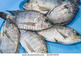 Nile Tilapia Fish In Blue Bowl