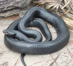 Snake Issues? Need Snake Removal In Lakeland Florida? Call (863 ... Backyard Snakes Effective Wildlife Solutions Snakes And Beyond 65 Best Know Them Images On Pinterest Georgia Of Louisiana Department Fisheries Southern Hognose Snake Florida Texas Archives What Is That 46 The States Slithery Species Nolacom Scarlet Kingsnake Cottonmouth Eastern Living Alongside Idenfication Challenge The Garden Or Garter My Species List New Engdatlantic