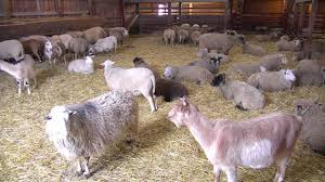 Sheep Barn Cam 11-20-2017 08:52:11 - 09:52:11 - YouTube Britespan Building Systems Inc Fabric Buildings The Barn At Gibbet Hill Traditional Corsican Sheep Barns With Pool 10 Km From Porto Spherds Way Farms Build The Barns Grow Flock By Steven Acvities For Children High Park Shed Books Plan Choice Sheep Barn Plans Designs And Farm Structures Waterford Vermont Maremma Sheepdog Herding Finndorset Stone Center Youtube Horizon Prefab Shedrow Can Easily Be Adapted