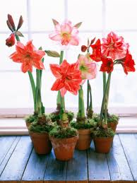 growing bulbs indoors hgtv