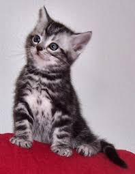 shorthair cat price price of american shorthair kitten many