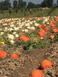 Pumpkin Patch Irvine University by Hello Kitty Pumpkin Patch At Tanaka Farms Rockin Mama