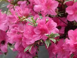 rhododendron 9 idées d associations réussies promesse de