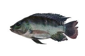 Nile Tilapia Fish Isolated On White Background Stock Photo