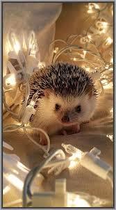 Ceramic Heat Lamp For Hedgehog by Best 25 Hedgehog Ideas On Pinterest Hedgehog Pet Hedgehogs And