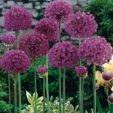 cheap allium bulbs buy allium purple sensation plants